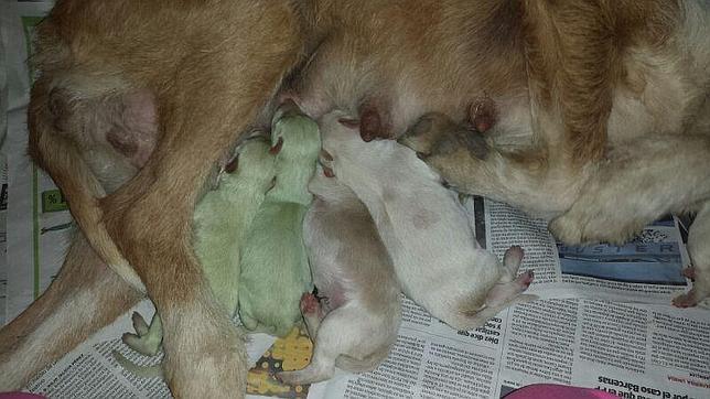 Nacen dos perros verdes en Valladolid Aida-manuel-perro-verde--644x362