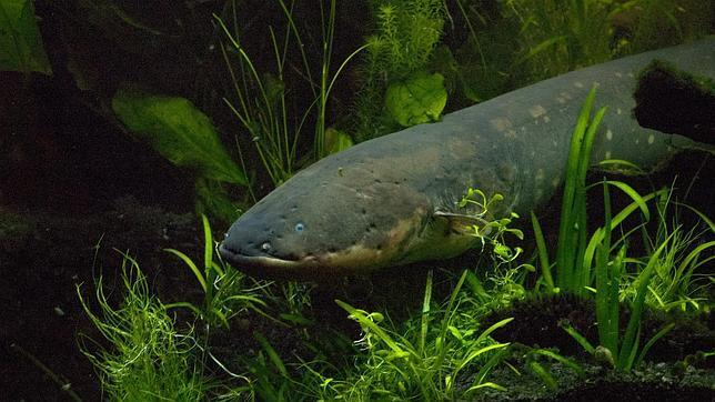 Revelado el secreto de los peces eléctricos