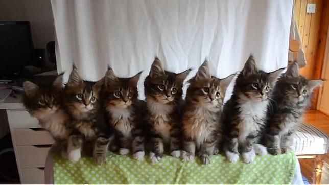 Siete gatitos muestran sus asombrosos reflejos sincronizados