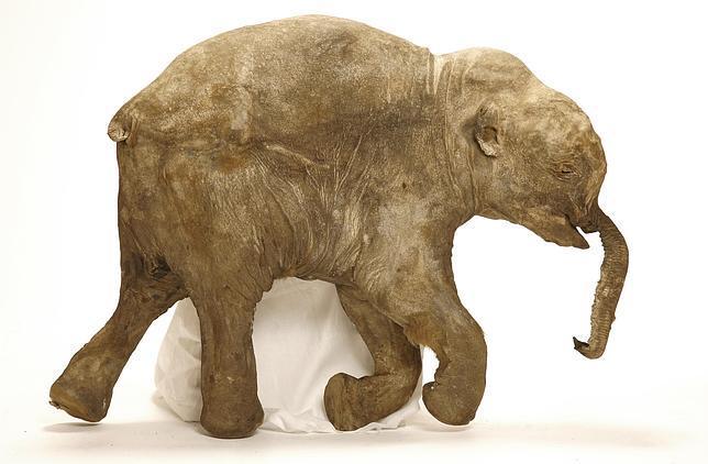 Así fue la violenta muerte de los bebés mamuts
