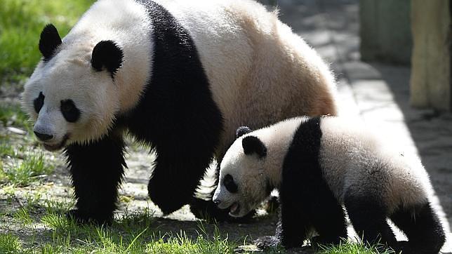 ¿Cómo Sobreviven Los Osos Panda A Base De Bambú?