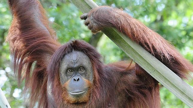 Q Es Un Orangutan Un orangutan se niega a