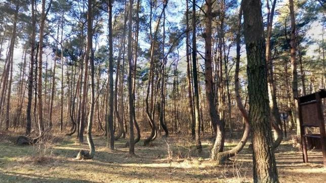 Los misteriosos pinos torcidos de Gryfino