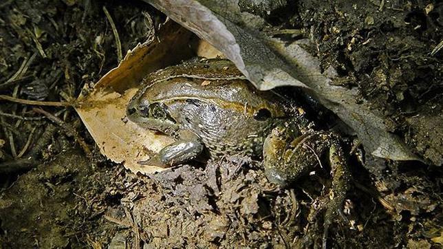 Una rana de la madera de Alaska crea un hibernáculo para pasar congelada el largo invierno