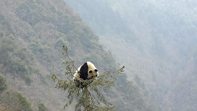 Un oso panda come bambú en una reserva china