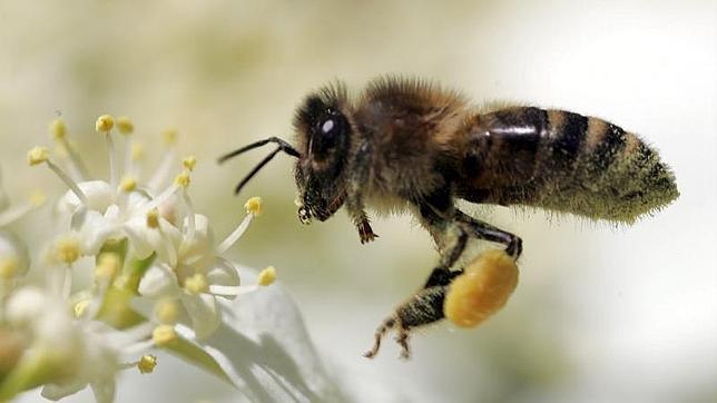 polen y abejas