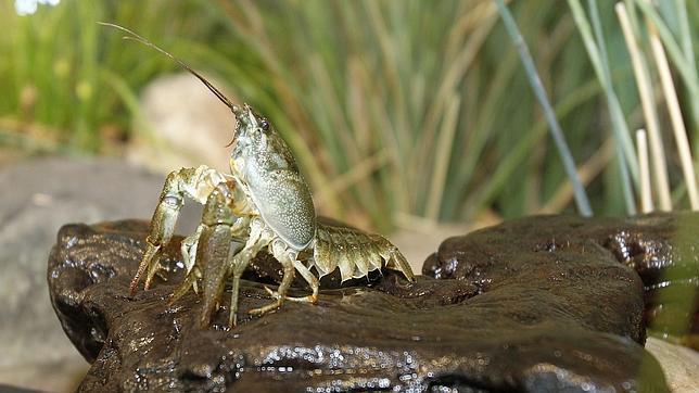 La Junta vincula los casos de tularemia con la pesca del cangrejo en Palencia