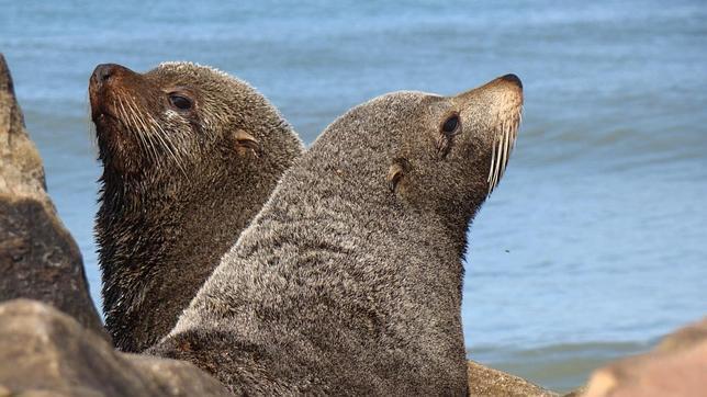 Fotos de focas cedidas por la revista «Nature»