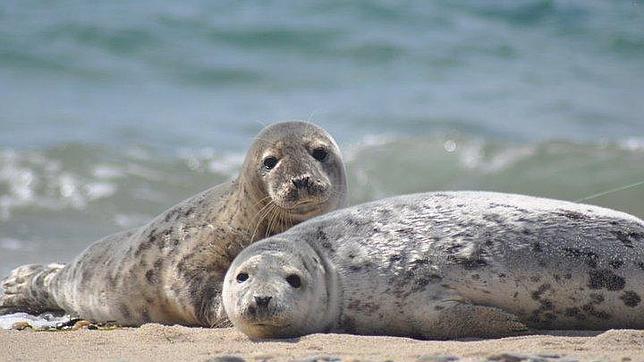 Ni Colón ni Pizarro, las focas llevaron la tuberculosis a América