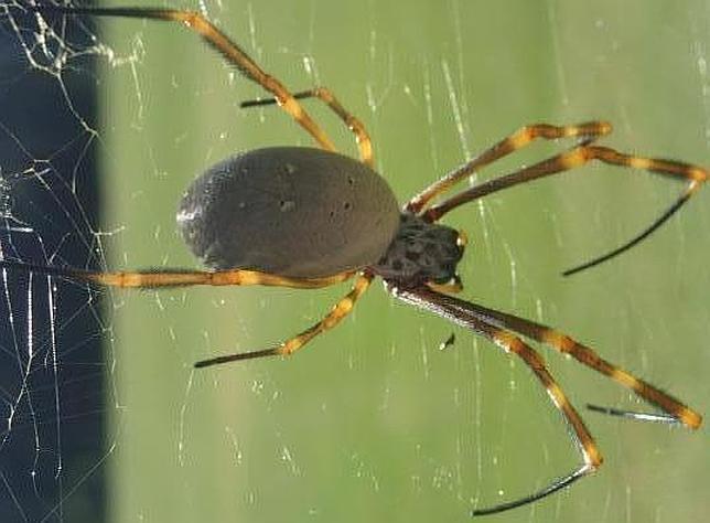 ¿Están las ciudades volviendo más grandes a las arañas?