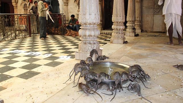 Un templo lleno de ratas la nueva atracci n tur stica de - Como matar las ratas de mi casa ...