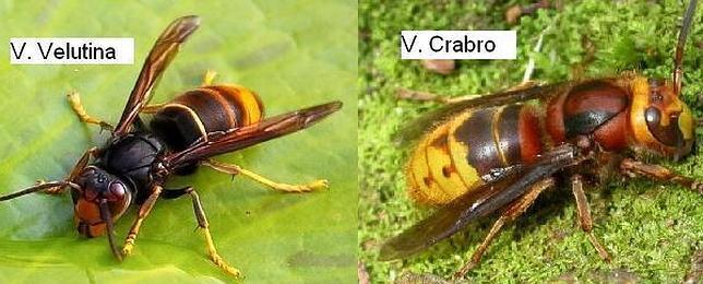 El avispón asiático ataca a las abejas comunes para criar a sus larvas