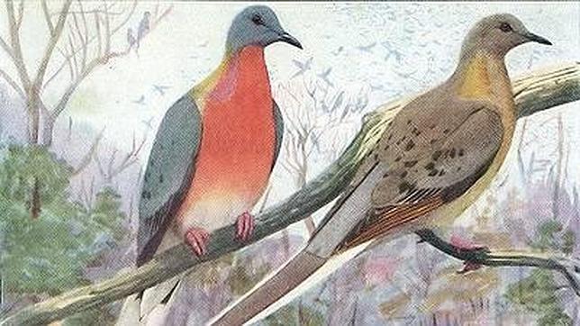 El carácter colonial y gregario de la paloma migratoria americana facilitaba su captura por miles. Su carne se popularizó y su hábitat fue desapareciendo
