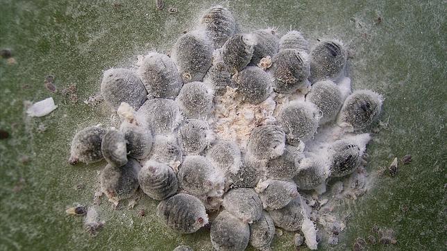 Grupo de hembras de Dactylopius coccus alimentándose sobre una penca de nopal en La Palma (Canarias)