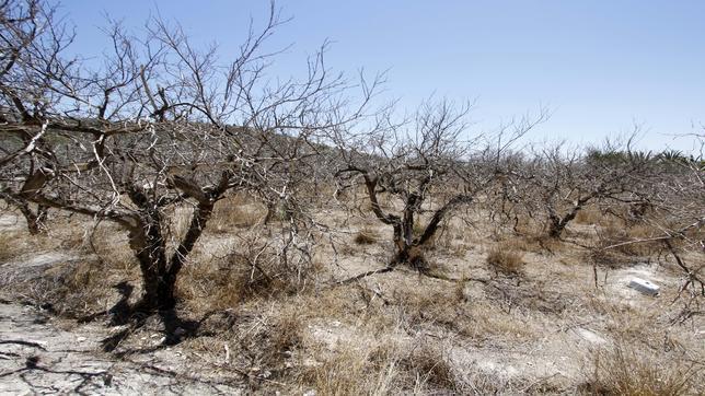 Imagen de un cultivo afectado por la sequía en Alicante
