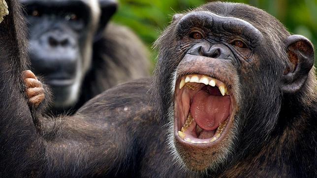 Chimpancés, asesinos natos