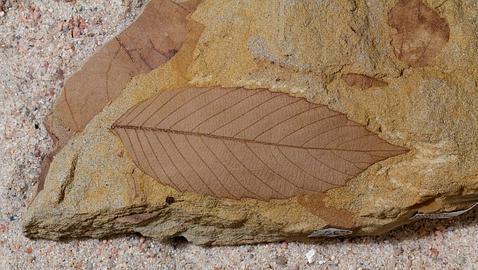 Hoja cretacico  478x270 - Debemos nuestros bosques al meteorito que acabó con los dinosaurios