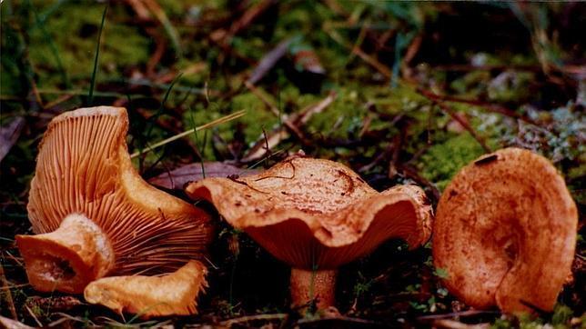 los tipos de hongos mas comunes