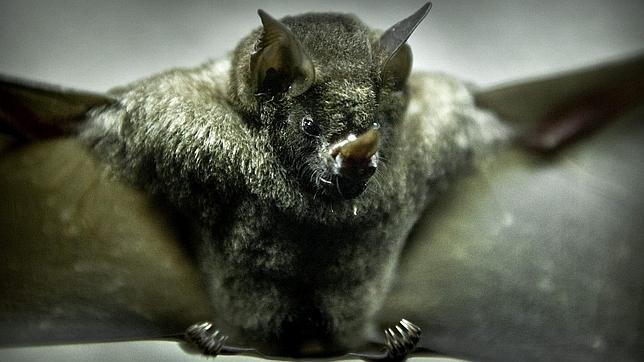 Los murciélagos son portadores del virus del ébola