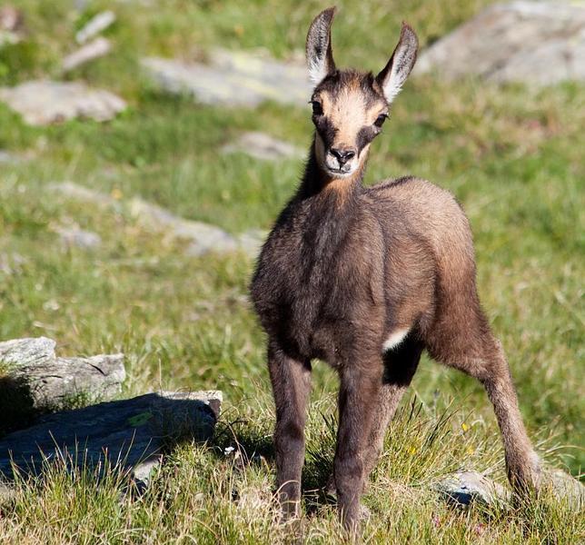 El misterio de las «cabras menguantes»