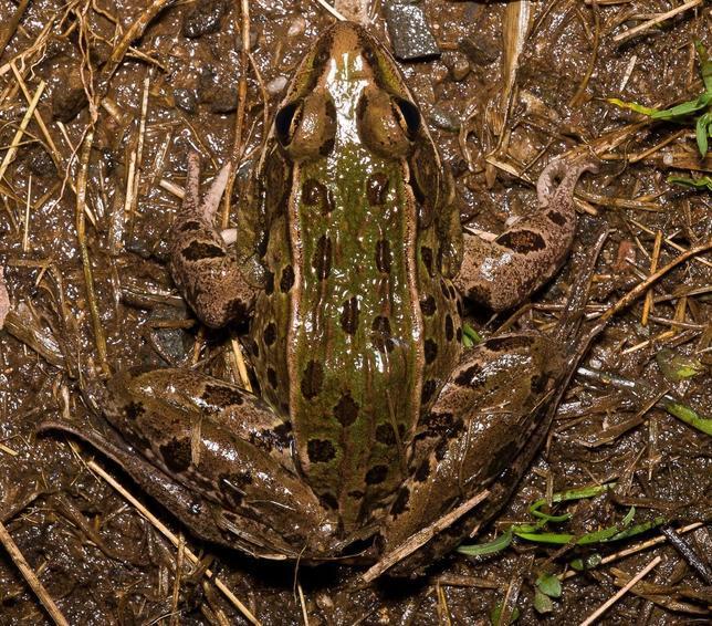 Nueva especie de rana leopardo macho, llamada Rana kauffeldi, hallada en Nueva York