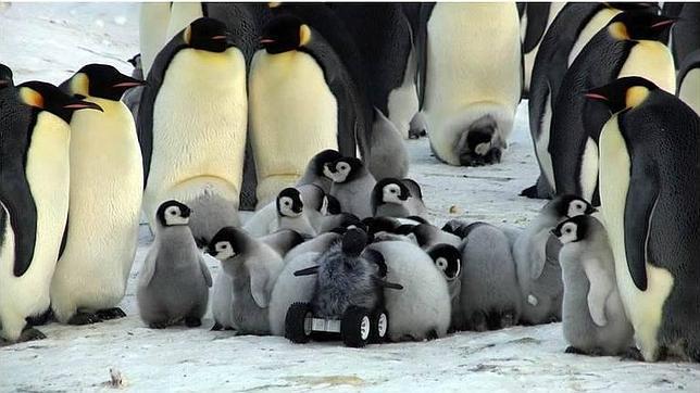 Infiltran a un bebé robot disfrazado para espiar la forma de vida de los pingüinos