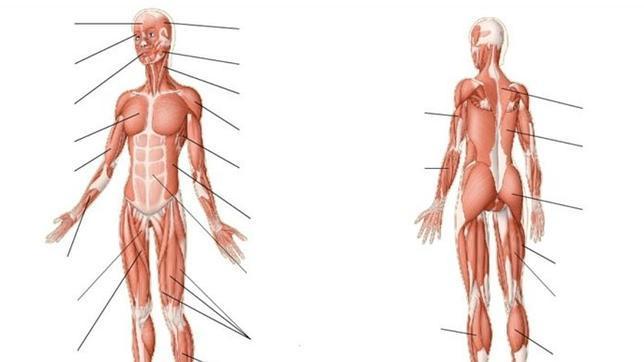 Podrías localizar los siguientes músculos?