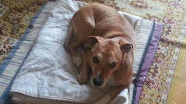 Excálibur, el perro de la auxiliar de enfermería contagiada por el ébola