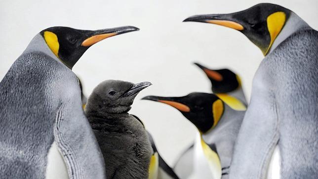Los pingüinos rey y las focas del Norte conviven en la Isla Marión (océano Índico)