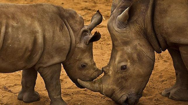 La cifra (desde el 1 de enero hasta hoy) supera la de 2013: 1.004 rinocerontes abatidos