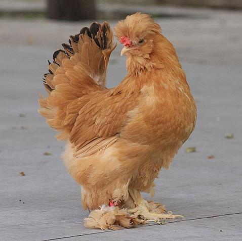 Las gallinas fueron domesticadas en China hace 10.000 años