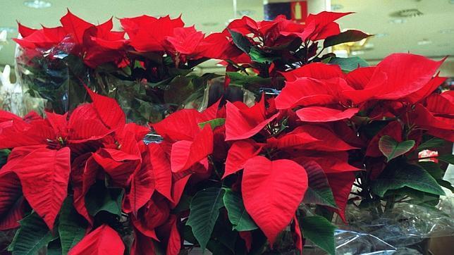 C mo conservar la flor de navidad - Que cuidados necesita la flor de pascua ...
