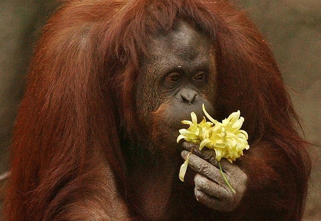 Q Es Un Orangutan Conceden el  habeas corpus  a