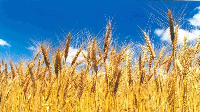 La producción de trigo disminuirá un 6% por cado grado que aumente la temperatura