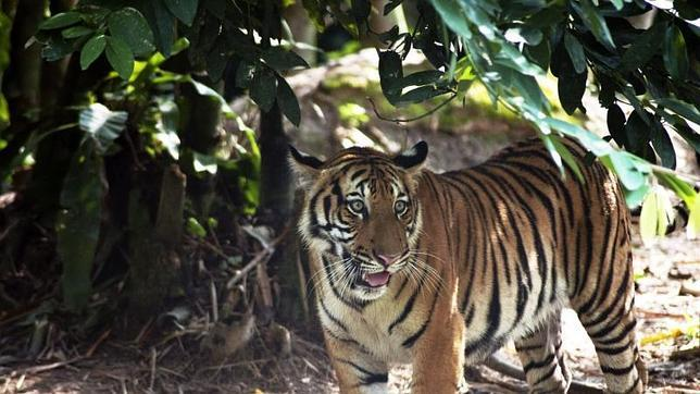 Fotografía facilitada por la Alianza para la Conservación del Tigre de Malasia (MYCAT), de un tigre en estado salvaje en Malasia