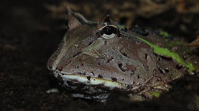 La rana sudamericana con cuernos