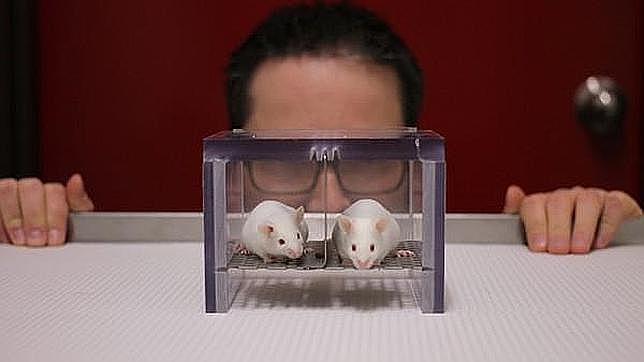El olor de los investigadores masculinos altera a los ratones