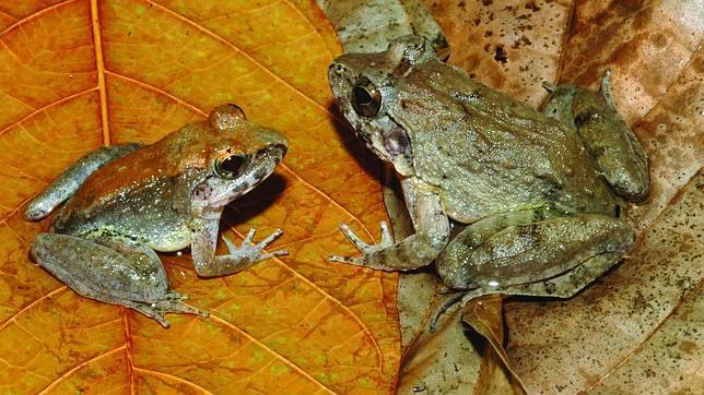 Un macho (izq.) y una hembra de la nueva especie de Sulawesi (Indonesia)