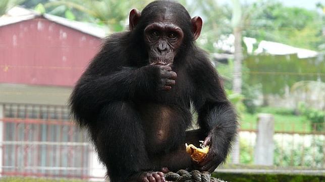 La subespecie de chimpancé más amenazada, podría desaparecer en Camerún