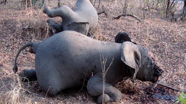 Los colmillos de marfil de estos grandes mamíferos habían sido retirados