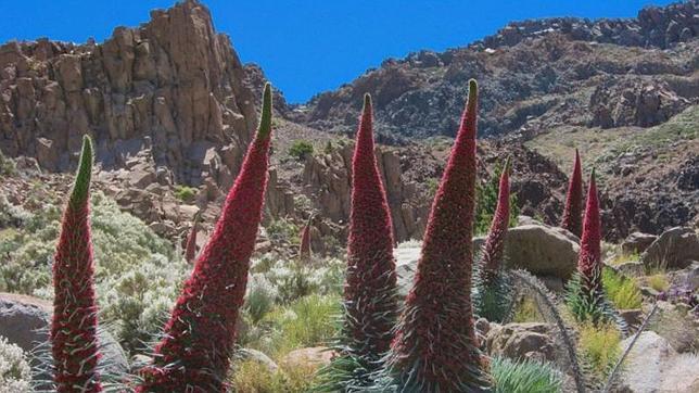 El tajinaste rojo es una de las plantas endémicas de Tenerife que podría estar en peligro