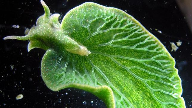 Este es el extraño aspecto del molusco que casi ha conseguido convetirse en una planta