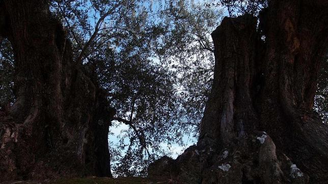 El olivo reconocido como el mejor Olivo Monumental de la Comunidad de Madrid.