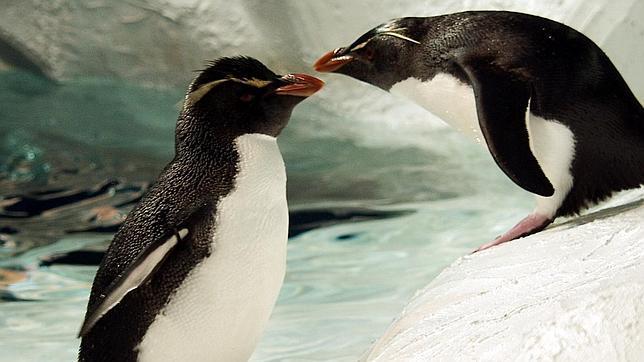 Bob y Niki, la pareja de pingüinos que llevan juntos dos décadas