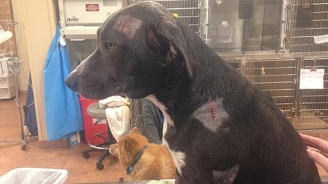El perro que recibió dos balazos por proteger a sus dueños en un asalto
