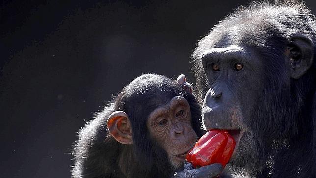 Afirman que el sida nació en 1908 por culpa de un chimpancé