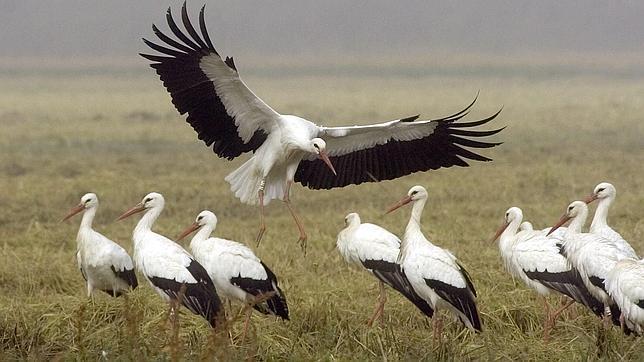 Cigüeñas blancas