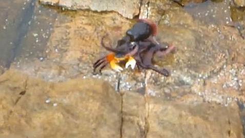 Vídeo: El pulpo que emerge a la superficie para cazar cangrejos