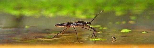 C mo pueden algunos insectos caminar sobre el agua - Insectos en casa fotos ...
