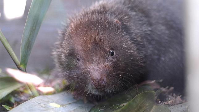 Resultado de imagen para rata bambu